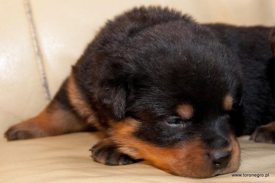 Śpiący szczeniak Toro Negro