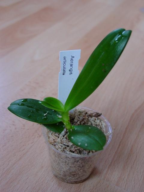 Растения из Тюмени. Краткий обзор Aerangis%252520articulata3