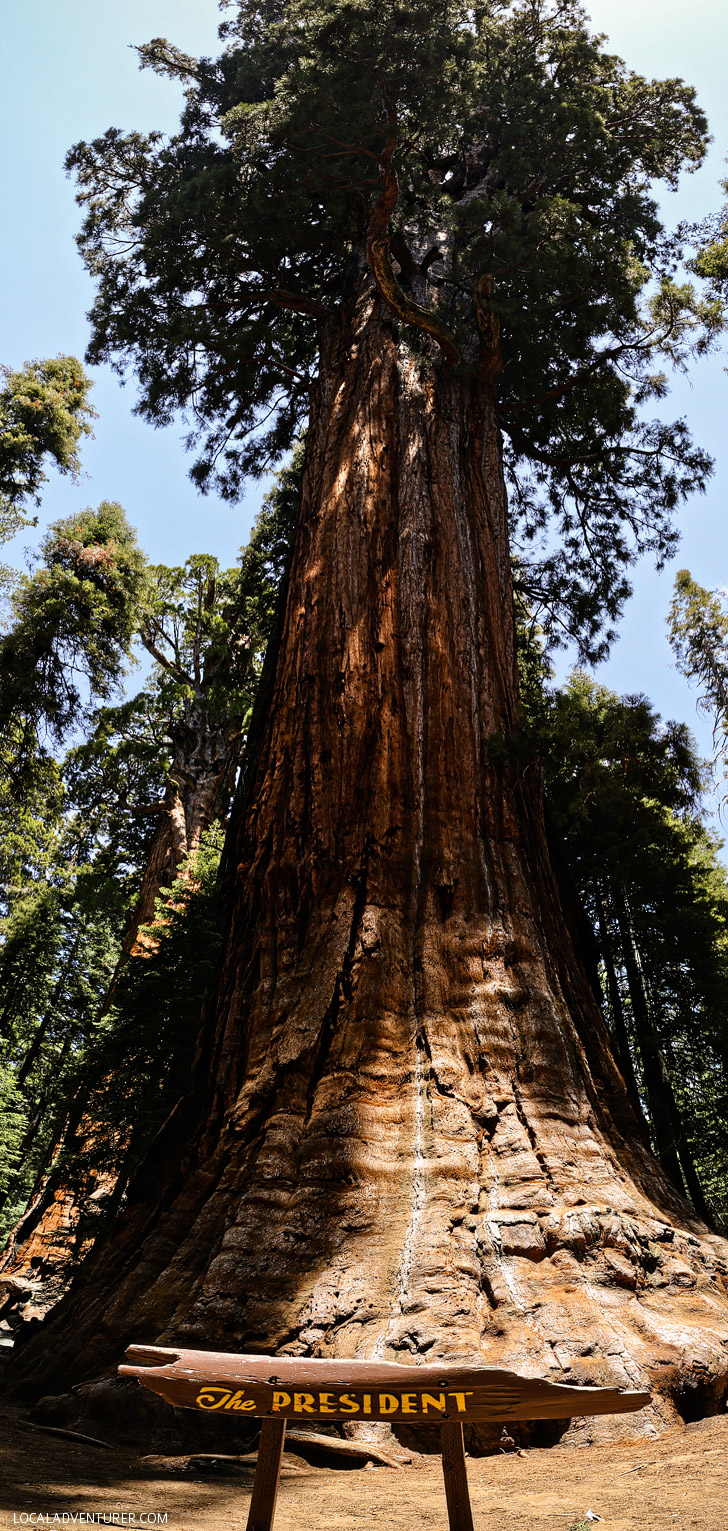 The President Tree - Sequoia National Park CA.