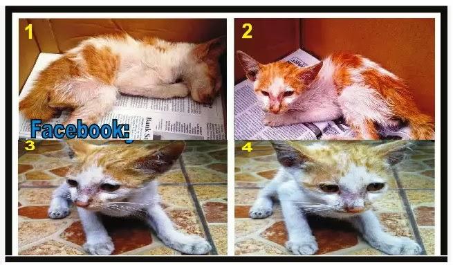 Manfaat S.LUTENA Untuk Perbaikan Kesehatan Kucing