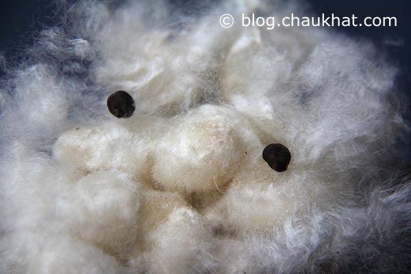 Cute cotton face with cotton seeds as its eyes