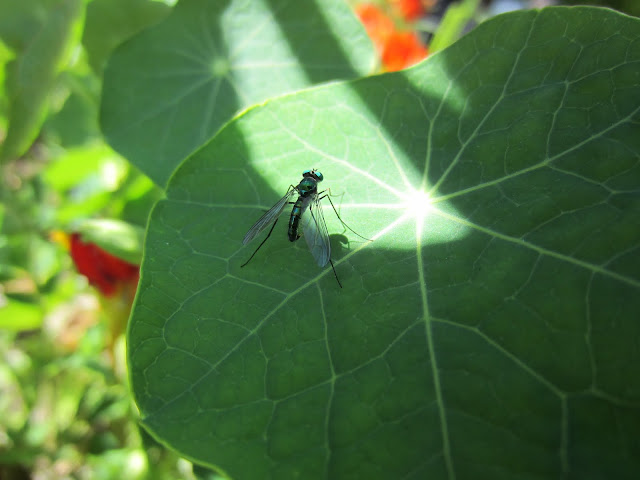 On a leaf sits a fly