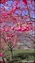 草坪頭玉山觀光茶園-茶園與櫻花的邂逅