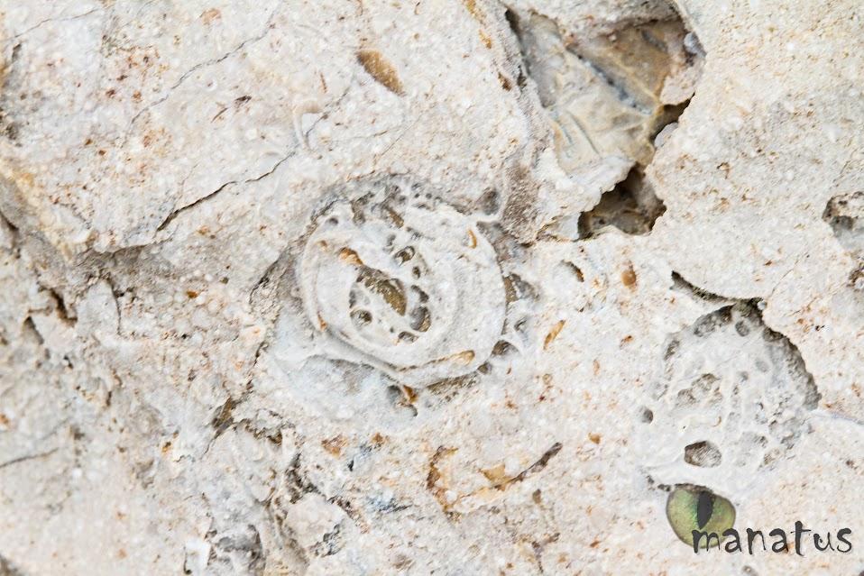 manatus foto fósil