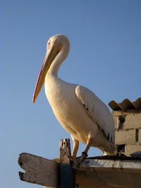 Pelican on the beach at the westernmost point in Africa in Dakar Senegal
