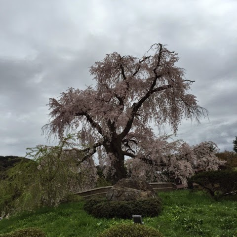 Cherry blossoms maruyama park Kyoto