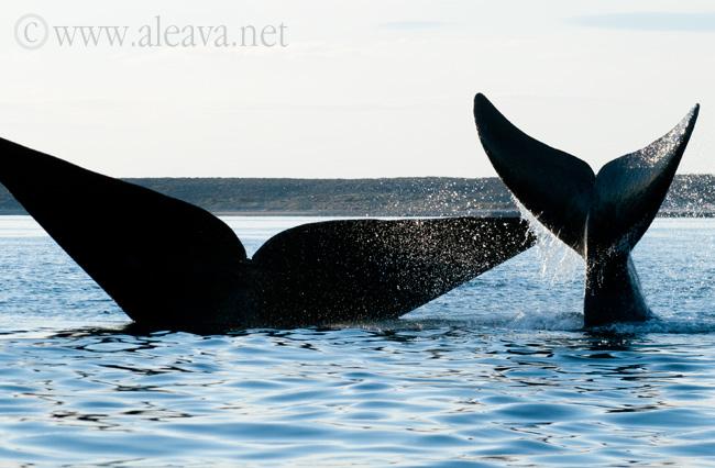 colas de ballena y ballenato en las aguas de Golfo Nuevo
