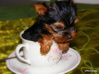 Martha, tiny yorkie