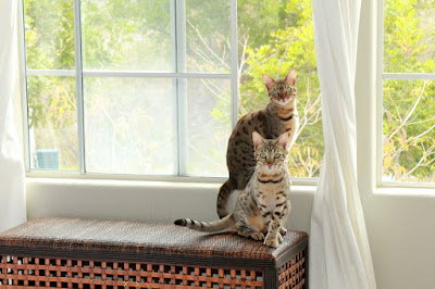 Bengal Cats in the Window