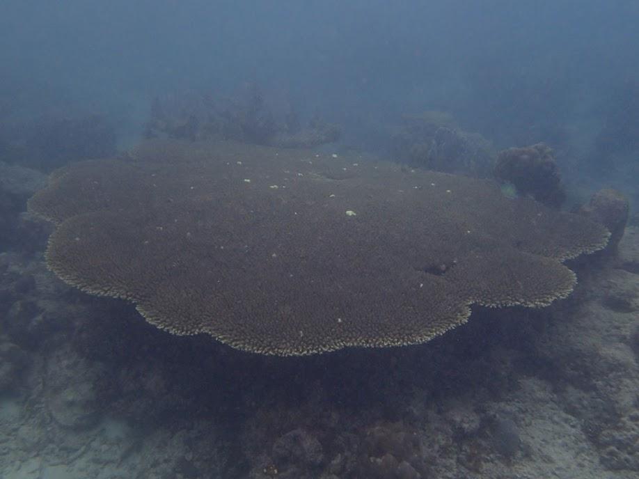 Acropora Tabletop Coral, Miniloc Island Resort reef, Palawan, Philippines.