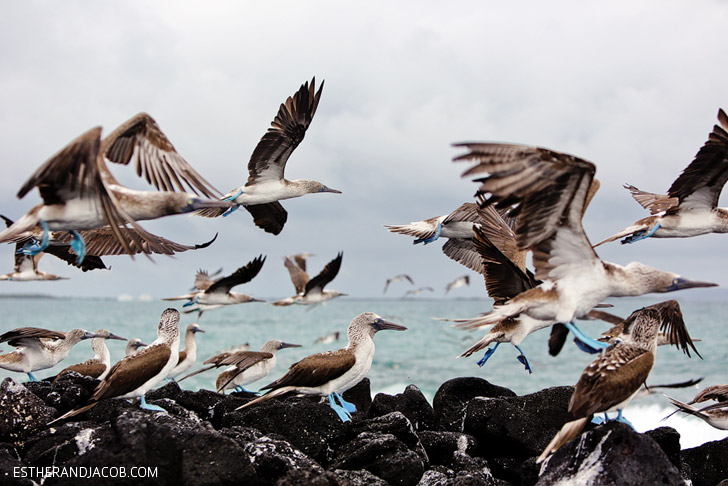 The Blue Footed Booby bird colony in the Wetlands Isabela Island // Galapagos Birds.