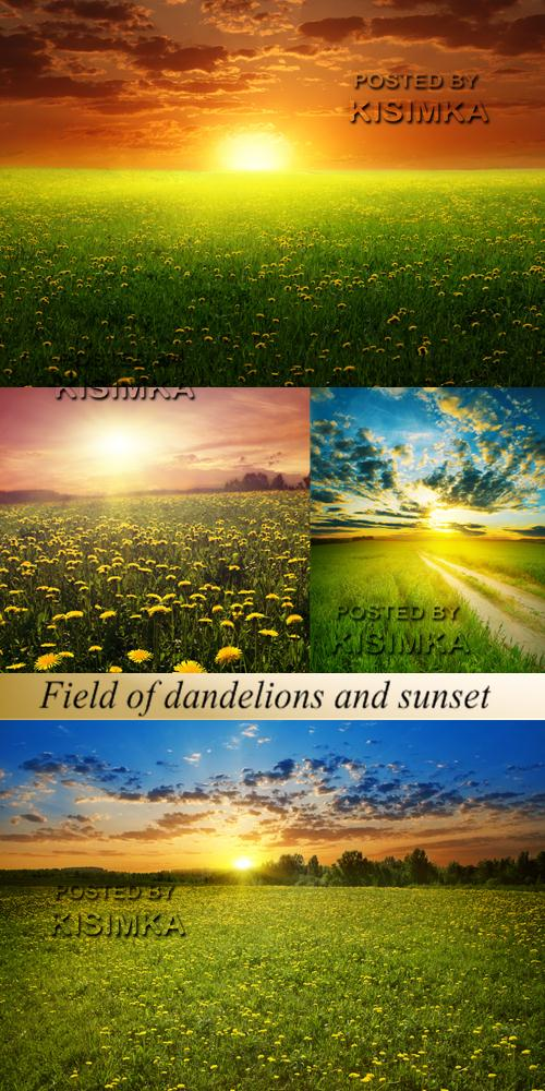 Stock Photo: Field of dandelions and sunset