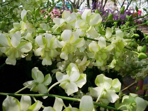 Растения из Тюмени. Краткий обзор - Страница 11 DEMMA-WHITE-MUTANT-FS
