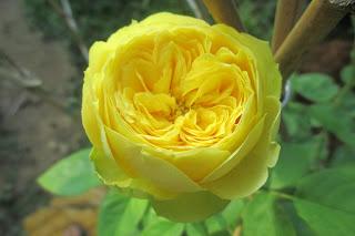 Hoa hồng Catalina Rose tại vườn Vân Loan, Sa Đéc