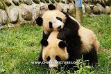 Chinese Panda Photo 5