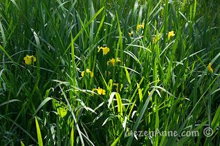 Sakarya, Karasu'daki Acarlar Longozu'ndaki sarı zambaklar