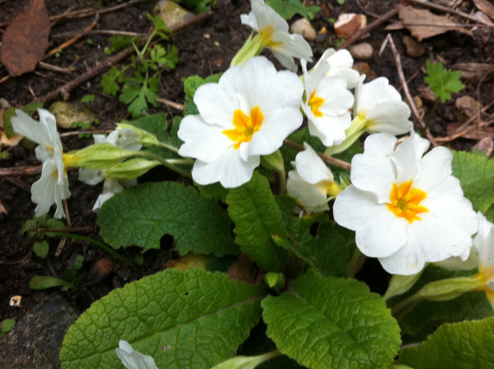 Nature In London White Primrose
