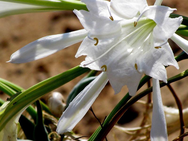 цветок панкрациум