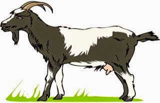 El toro y las cabras salvajes