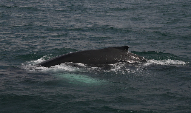A humpback whale surfaces right next to our boat