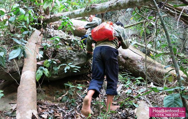 Khai thác Mật Ong Rừng ở Lai Châu - 8