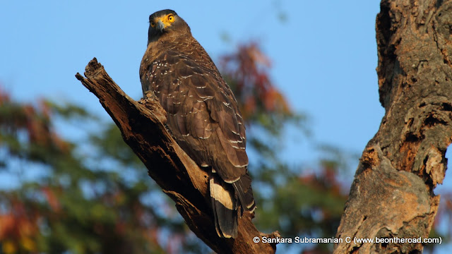 Crested Serpent Eagle staring at me