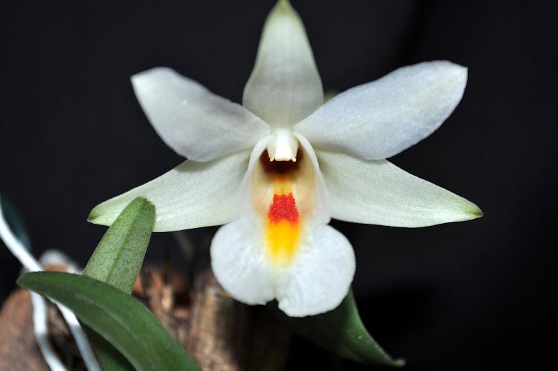Dendrobium margaritaceum DSC_0003-001