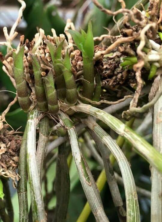 Thuốc Keiki sử dụng kích mầm chồi non và kích ra hoa cho các loại hoa - 5