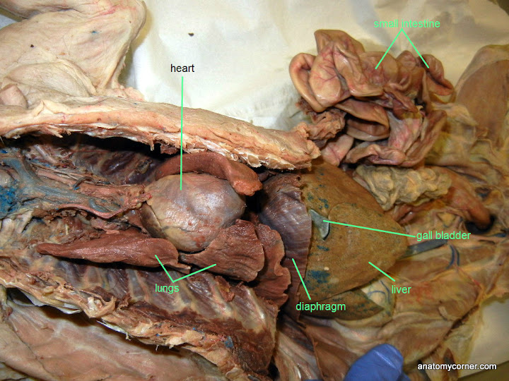 Virtual Cat Dissection Organs Of Thoracic Cavity Anatomy Corner
