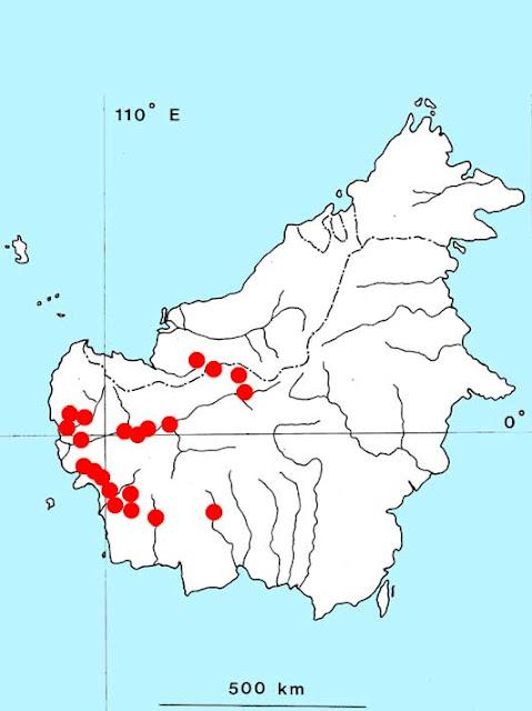Криптокорина бурая (Cryptocoryne fusca)
