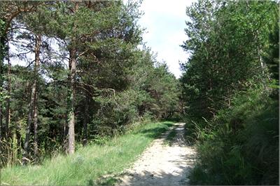 Cruzamos por un pinar