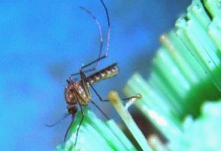 Berita foto Sinar Ngawi hari ini tentang Penyakit Chikungunya yang biasa disebut penyakit lumpuh layu