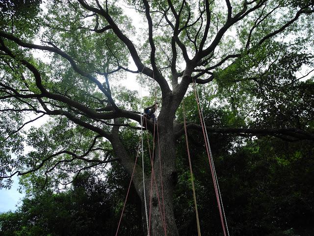 新竹縣芎林的台灣樟樹,今年160歲,頭好壯壯,荒野保護協會遂以此發展攀樹的訓練課程。