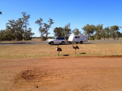 Emus in Morven