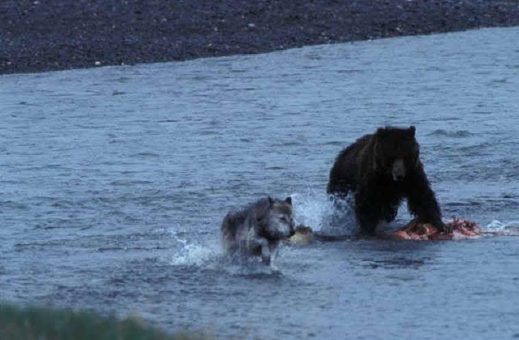 Urso pardo vs Urso polar - Página 2 60675
