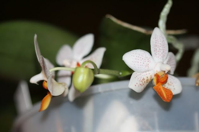 Phalaenopsis Mini Mark IMG_1211
