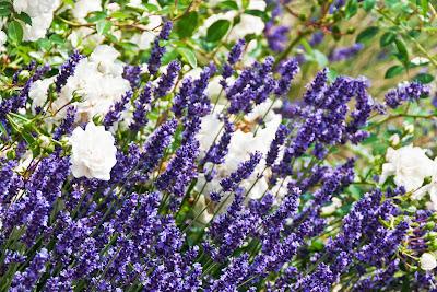 Lavendel und weiße Rosen