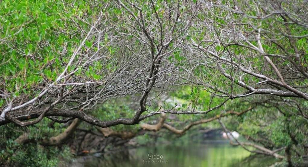 台南安南景點,四草紅樹林綠色隧道