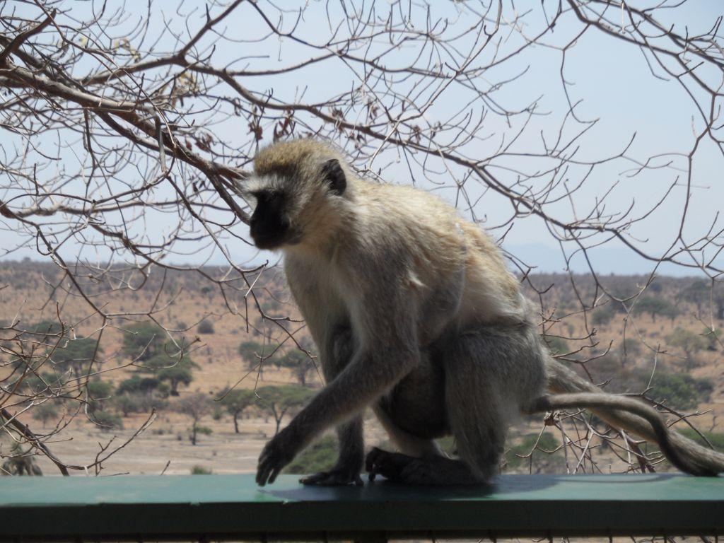 Tarangire'nin Öğle Yemeği Hırsızı Maymunları