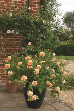 Chọn chậu trồng hoa hồng thích hợp cũng góp phần làm cho cây hoa hồng phát triển tốt hơn.