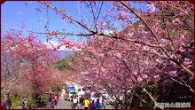 草坪頭玉山觀光茶園-櫻花滿滿人潮也滿滿