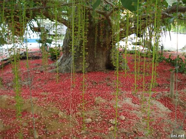 hoa lộc vừng rụng đỏ gốc