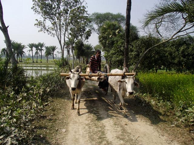 cow cart