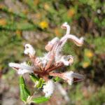Grevillea Buxifolia (206599)