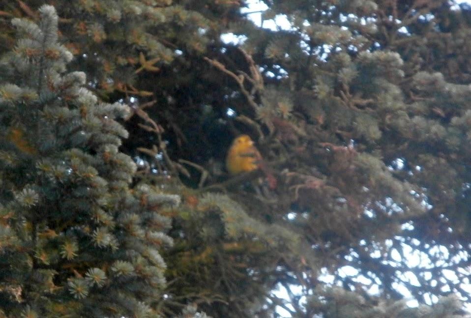 Keltasirkku20150105