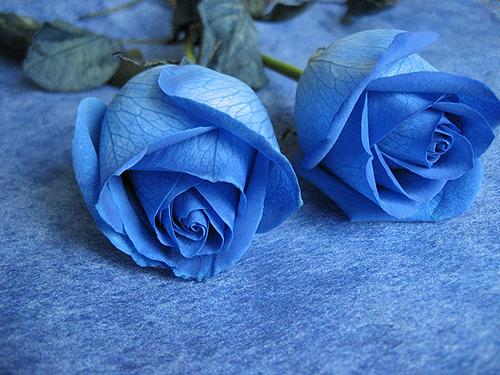2 cành hoa hồng xanh biểu tượng cho tình yêu đôi ta