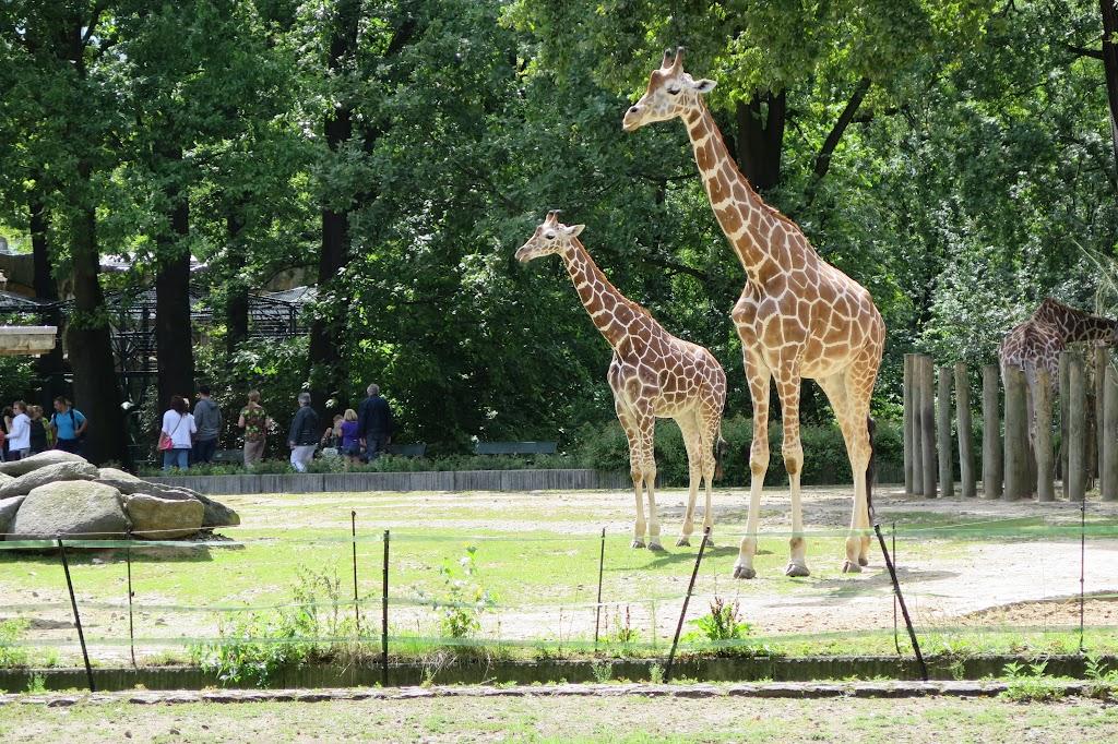 Natürlich sind auch Giraffen im Zoo zu finden