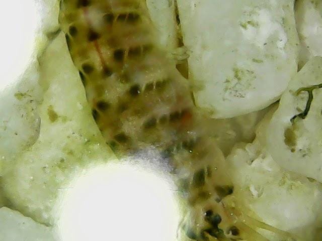 Ma microfaune en 50x 1128-25