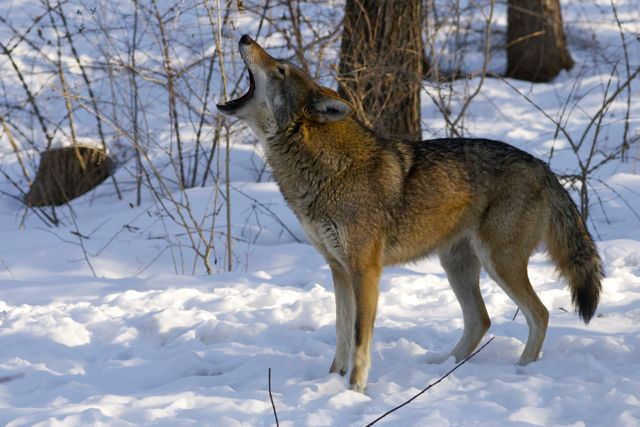 Red Wolf Howling Wolf Conservation Cent...