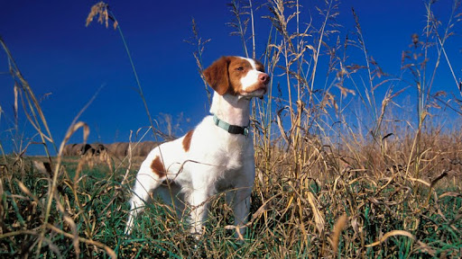 Brittany Spaniel on Point.jpg